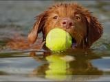 Nova Scotia Duck Tolling Retriever,,hond,dog,dogs,huisdierenfotografie,hondenfotografie,pet,petphotography,dogphotography