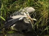 reiger,vogel,natuur,bird,grey heron,blauwe reiger