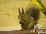 eekhoorn,natuur