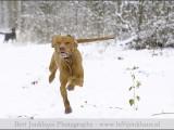 vizsla,,hond,dog,dogs,huisdierenfotografie,hondenfotografie,pet,petphotography,dogphotography