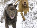 labrador,vizsla,hond,dog,dogs,huisdierenfotografie,hondenfotografie,pet,petphotography,dogphotography