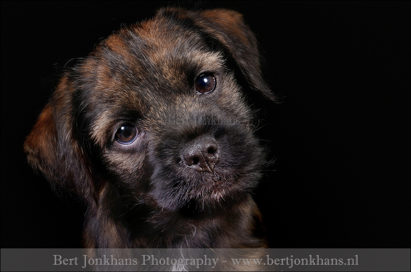 border terrier,hond,honden,dog,dogs,huisdierenfotografie,petphotography,dogphotography
