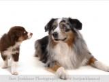 australian shepherd,Australische herder,hond,honden,dog,dogs,huisdierenfotografie,petphotography,dogphotography
