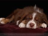 Australische herder,hond,honden,dog,dogs,huisdierenfotografie,petphotography,dogphotography
