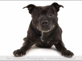 ,hond,honden,dog,dogs,huisdierenfotografie,petphotography,dogphotography,Staffordshire Bull Terrier,Engelse Stafford,hond,honden,dog,dogs,huisdierenfotografie,petphotography,dogphotography