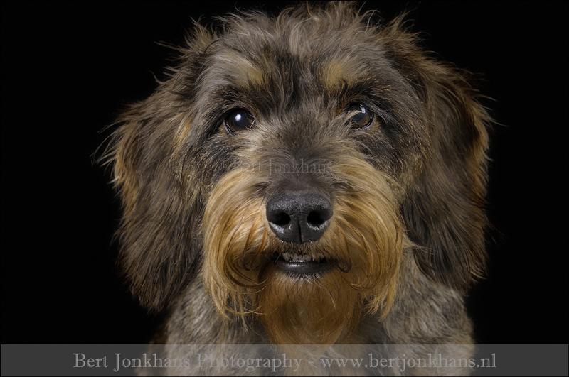 teckel ruwhaar,hond,honden,dog,dogs,huisdierenfotografie,petphotography,dogphotography