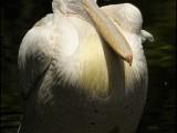 pelikaan,vogel,dierentuin,birb,natuur,pelican