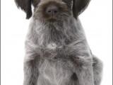 Český Fousek,Cesky Fousek,hond,honden,dog,dogs,huisdierenfotografie,petphotography,dogphotography
