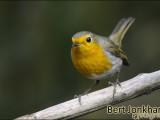 roodborst,vogel,natuur,robin red,bird
