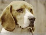Beagle,,hond,dog,dogs,huisdierenfotografie,hondenfotografie,pet,petphotography,dogphotography