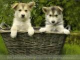 husky,,hond,dog,dogs,huisdierenfotografie,hondenfotografie,pet,petphotography,dogphotography