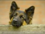 duitse herder,german shepherd,,hond,dog,dogs,huisdierenfotografie,hondenfotografie,pet,petphotography,dogphotography
