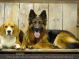 duitse herder,beagle,german shepherd,,hond,dog,dogs,huisdierenfotografie,hondenfotografie,pet,petphotography,dogphotography