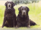 labrador,vizsla,,hond,dog,dogs,huisdierenfotografie,hondenfotografie,pet,petphotography,dogphotography