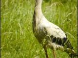 ooievaar,vogel,natuur,bird,stork