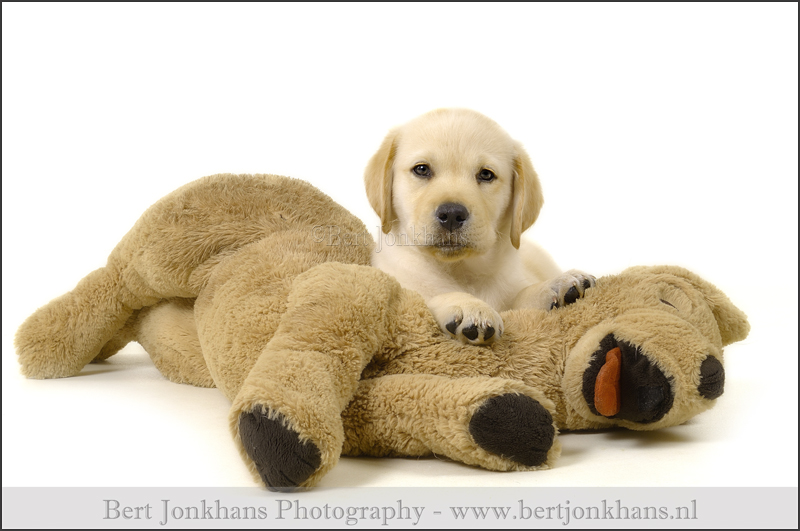 labrador,hond,honden,dog,dogs,huisdierenfotografie,petphotography,dogphotography