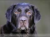 labrador,,hond,dog,dogs,huisdierenfotografie,hondenfotografie,pet,petphotography,dogphotography