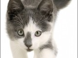 kat,cat,huisdierenfotografie,kattenfotografie,petphotography,europese korthaar,European Shorthair