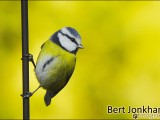 koolmees.vogel,natuur,bird,great tit