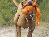 vizsla,hond,dog,dogs,huisdierenfotografie,hondenfotografie,pet,petphotography,dogphotography