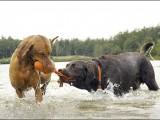 vizsla,labrador,,hond,dog,dogs,huisdierenfotografie,hondenfotografie,pet,petphotography,dogphotography