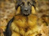 duitse herder,german shepherd,hond,dog,dogs,huisdierenfotografie,hondenfotografie,pet,petphotography,dogphotography