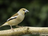 appelvink,vogel,natuur,bird,hawfinch