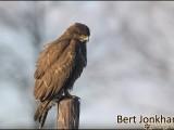 buizerd,vogel,roofvogel,natuur,bird,buzzard