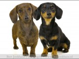 teckel,dachshundhond,honden,dog,dogs,huisdierenfotografie,petphotography,dogphotography