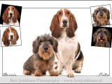 teckel,dachshund,hond,honden,dog,dogs,huisdierenfotografie,petphotography,dogphotography