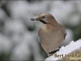 gaai,vogel,natuur,bird,eurasian jay