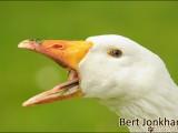 gans,vogel,natuur,bird,goose
