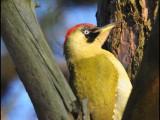 groene specht,vogel,natuur,bird,european green woodpecker