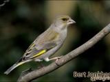 groenling,vogel,natuur,bird,greenfinch