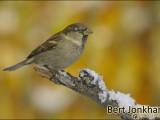 mus,vogel,natuur,bird,sparrow
