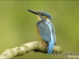 ijsvogel,vogel,natuur,oostvaardersplassen,bird,kingfisher