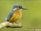 ijsvogel,vogel,natuur,oostvaardersplassen,bird,kingfishe