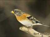 keep,vogel,natuur,bird,bramblin