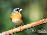 keep,vogel,natuur,bird,brambling