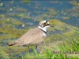 kleine plevier,vogel,natuur,bird,little ringed plover