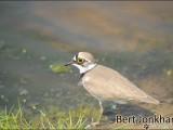 kleine plevier,vogel,natuur,bird,little ringed plove