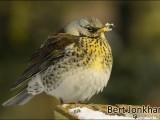 kramsvogel,vogel,natuur,bird,fieldfare