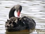 zwarte zwaan,vogel,natuur,bird,black swan