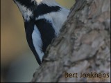 Grote Bonte Specht,gbs,Great Spotted Woodpecker,vogel,natuur,bird,