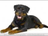 Rottweiler,,hond,honden,dog,dogs,huisdierenfotografie,petphotography,dogphotography