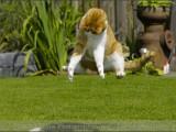 Europese korthaar,,huisdierenfotografie,kattenfotografie,petphotography,catphotography,cat,