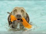 weimaraner,,hond,dog,dogs,huisdierenfotografie,hondenfotografie,pet,petphotography,dogphotography
