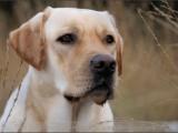 labrador,hond,dog,dogs,huisdierenfotografie,hondenfotografie,pet,petphotography,dogphotography