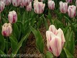 tulpen,voorjaar,tulpenveld,tulpenvelden,bloemen,flowers,tulip,tulips,tulipfields,spring