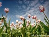 tulpen,voorjaar,tulpenveld,tulpenvelden,bloemen,flowers,tulip,tulips,tulipfields,spring,